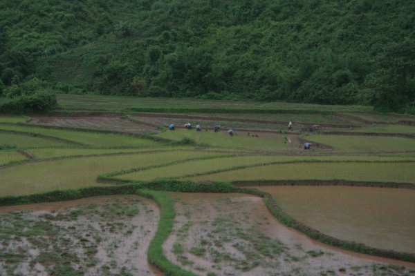rice field in Lao